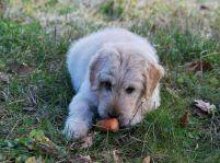 Ktoré jedlá vášmu psíkovi škodia?