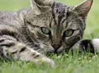 Mačky nie sú všežravce