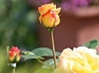 Jarný rez ruží