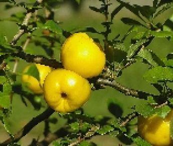 Dula – prastaré ovocie s množstvom výhod