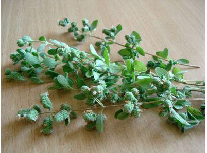 Majoránka – bylinka i korenina s množstvom pozitívnych účinkov