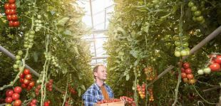 Cherry paradajky – moderná súčasť kulinárskych pokrmov