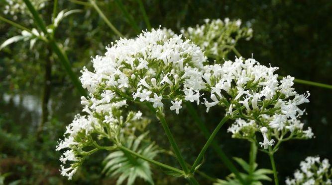 3 bylinky, ktoré si môžete nazbierať v auguste